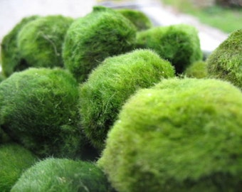 5 Giant Living Marimo Moss Balls (~2 Inches)! Live Cladophora Aquarium Aquatic Plant for Terrarium or Fish Tank or, 8-15 years old