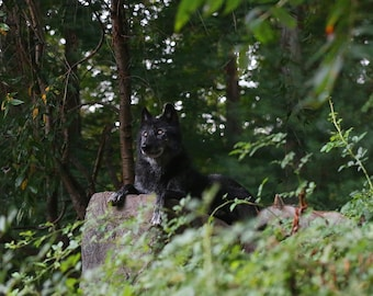 Black wolf on a rock           ~ a blank 5x7 greeting card