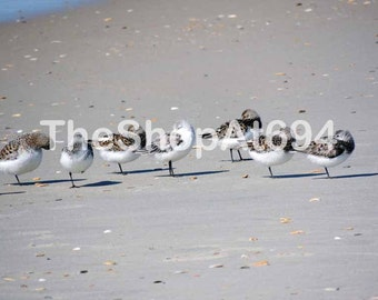 """Hatteras Sandpipers Photo - Sandpipers Photo - NC Beach Photo - North Carolina Sandpipers - Instant Download - """"Seven Pipers Piping"""""""