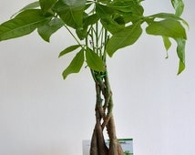 5 Money Tree Plants Braided Into 1 Tree Pachira 4 Quot Clay
