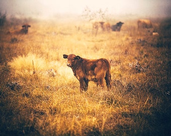 Cow on a Foggy Morning - Rural photography - Cattle, Livestock, Ranching, Texas Photography, Fall landscape, pasture, warm color, animals