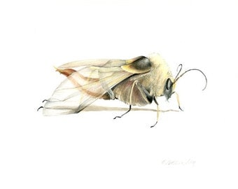 Robber Fly original drawing, Science illustration, drawing, wings, insects, fly, natural history