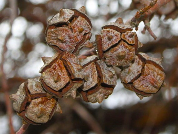 30 Natural Seed Pods Wood Tree Pods Unusual Round by Debrasgoods570 x 430 jpeg 48kB