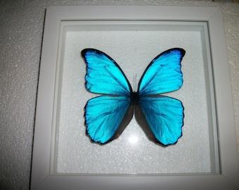 Blue Morpho in White Frame