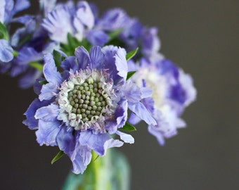 Floral wall art purple charcoal gray flower still life lavender botanical print - Purple Scabiosa