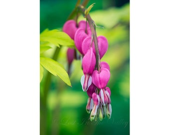 Bleeding Heart Photo, Flower Photograph, Cottage Chic Decor, Nature Print, Fine Art Photography, Spring Garden, Hearts, Gold, Pink, Green