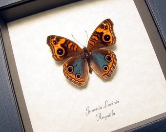 Real Framed Junonia Lavinia Male Butterfly Shadowbox Display 8255