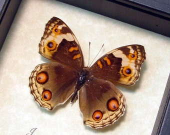 Real Framed Junonia Orithya Female Butterfly 102F