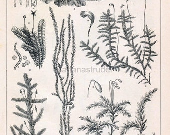 1897 German Back-to-Back Antique Engraving of Mosses