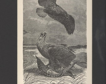1904 Natural History White-Tailed Sea Eagles Antique Illustration
