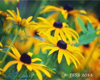 Blackeyed Susan Flowers - Flower Card - Nature Photo - Botanical Print- Greeting Card - Flower Photography