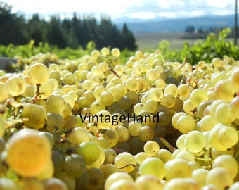 Chardonnay Grapes Digital download / Fall Harvest / sunshine trees / rustic / country / glow / Photograph / Art download / Home Decor