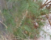 10 Eastern White Pine Saplings