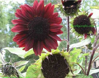 Red sunflower seeds