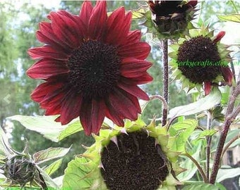 Red Sunflower Seeds, TX size, radiant red sunflowers