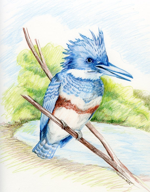 Kingfisher Original Colored Pencil drawing nature lovers