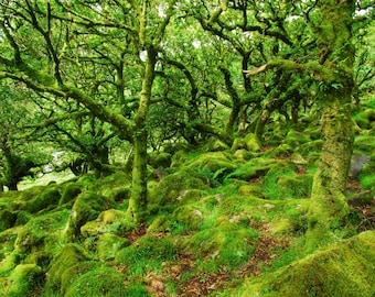 Wistmans Wood, Dartmoor  A4 Photographic Print