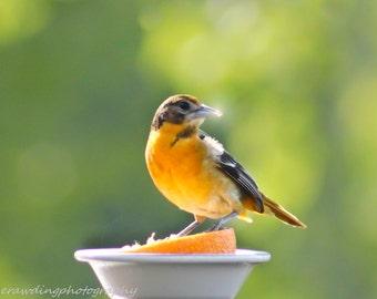 Print of an Oriole Female, Birds, Nature, Maine Birds, Orange birds, Bird Photography, 8x10 and larger