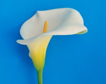 White Lily Digital Print