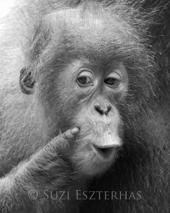 Animal Nursery Art, FUNNY BABY ORANGUTAN, Black & White Photo, Baby Animal Photograph, Kids Room Decor, Baby Monkey, Wildlife Photography