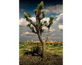 Joshua Tree at Joshua Tree National Park in the California Desert No.2783 - A Western Landscape Photograph