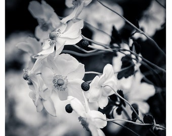 Nature Photography, Fine Art Photography Print, Nature, Floral, Cottage Home Decor, Black and White, White Flower Print