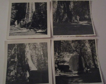 Set of four Vintage B&W photos of giant red wood tree from 1958.