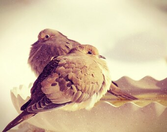 Bird Photography, mourning doves photograph,winter,snow,brown,spotted,peaceful,doves at birdbath,home decor,gifts under 25,peaceful,zen,dove