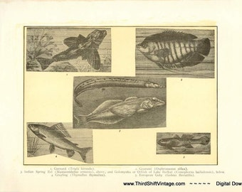 "Digital Download ""Fish"" Illustration (c.1900s) - Instant Download Printable of a Variety of Fish Illustrated Book Page"