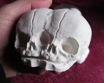Siamese fetal skull replica for you to paint as you wish D.I.Y skull