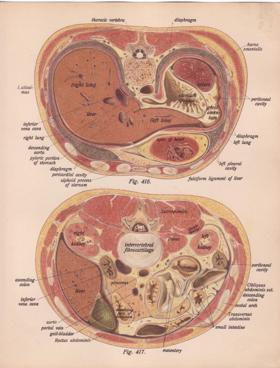 Items Similar To Antique Medical Page Diagram Organs Lungs