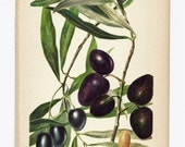 Victorian Kitchen Art Print, Olives Lithograph, 1800s Print Antique Print, Botanical Print, Fruit Print, Original Victorian art illustration