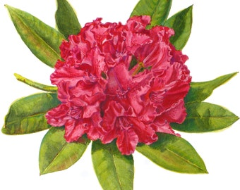 Rhododendron Botanical Print Red Flower Art Watercolor Floral Illustration by Janet Zeh Original Art