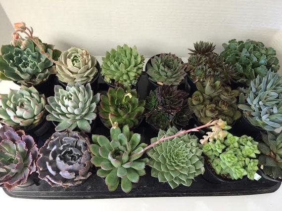 Succulent Plants - A Variety Of 18 Medium Size Succulents For Garden, Wedding, Favors, Centerpieces, Boutonnieres and More