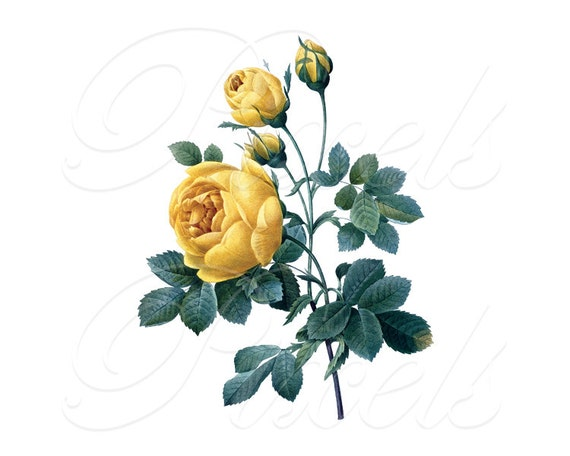 ROSES Instant Download, large Digital Image in color, vintage yellow rose illustration ,wedding clipart REDOUTE 019