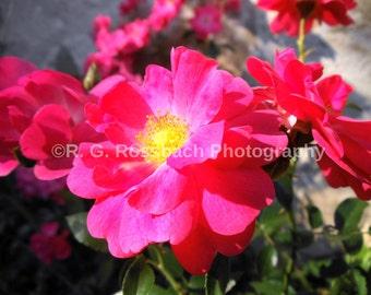 Vibrant Wild Rose 5x7 Luster Print