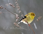 Custom Size Goldfinch Photo