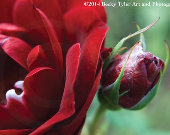 Red Rose Macro Photography Fine Art  Photo Print