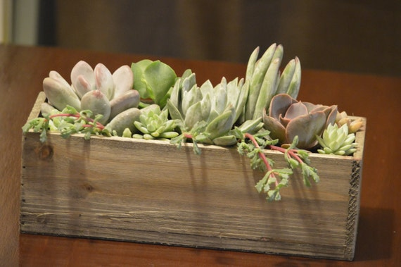 live real succulent plants centerpiece by stelladesignsshop. Black Bedroom Furniture Sets. Home Design Ideas