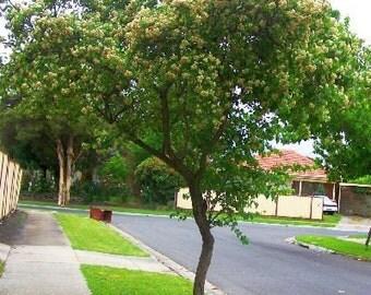 500 Washington Hawthorn Tree Seeds, Crataegus cordata