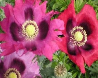 Heirloom Florist Pepperbox Poppy, Red, Purple and Pink, Large Blooms, 25 Seeds