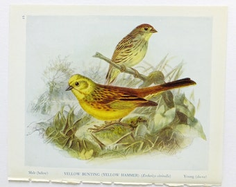 Bullfinch OR Yellow Hammer Picture, Antique Bird Print, Vintage Bird Illustration, Unframed Bird Picture, Yellow Bunting