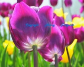 Colorful Tulips Art Real Photo Print  Various Sizes Available Welcome Spring Colorful Flower photo