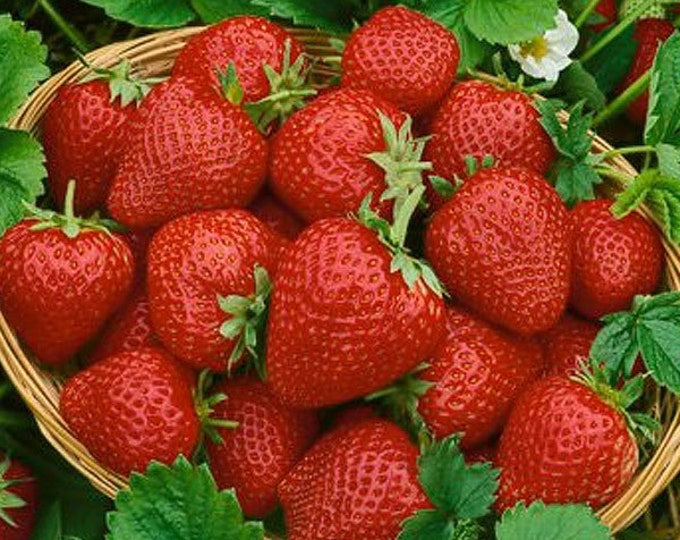 Seascape Strawberry Plants Organic 20 Bare Root Plants Day Neutral Strawberry - Shipping Now