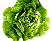 500 - Bulk Butter Head Lettuce Seeds - Bibb - Heirloom Lettuce Seeds, Head Lettuce Seeds, Bibb Lettuce Seeds, Non-GMO Lettuce, Bulk Seeds