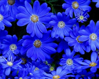 50 - Daisy Seeds - Felica the Blues - Heirloom Daisies, Non-GMO Daisies, Blue Daisy Seeds, Blue Flower Seeds, Heirloom Seeds, Non-Gmo Seeds