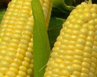 50 - Heirloom Corn Seeds - Golden Bantam 8 - Sweet Corn Seeds, Yellow Corn Seed, Golden Bantham Corn Seed, Non-gmo Corn, Heirloom Sweet Corn
