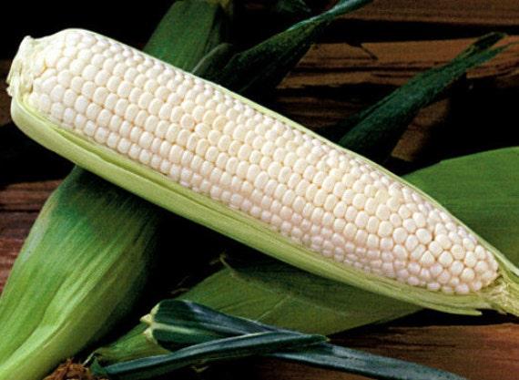 50 White Corn Seeds Silver Queen Hybrid Sweet Corn