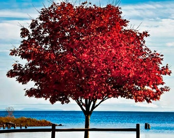 Red Photography, Whitefish Bay Photography, Red Tree photography, Red Leaves, Blue Water, Blue Sky, Red Tree Photo, Red Tree Image, Art