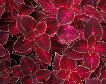 Coleus Seeds - Velvet Red,very Showy,Easy To Grow,Shade Loving Plant!Perfect for adding some intense color into the shade border